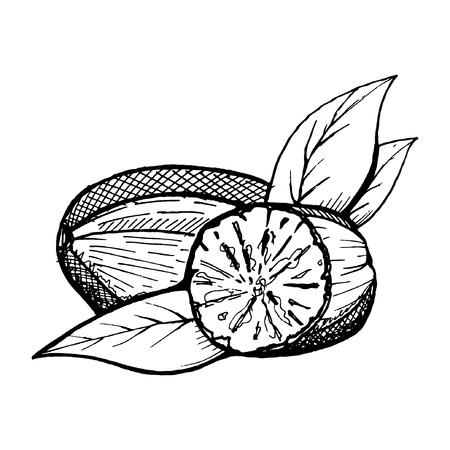 Muskatnuss ganz und zerkleinert Pulver. Gewürze isoliert auf weißem Hintergrund. Vektor-Illustration. Kann für Verpackung, Drucke, Verpackung, Menü, Preisschild, Etikett, gesunde Broschüre, Bio verwendet werden. Als Logo, Symbol Logo