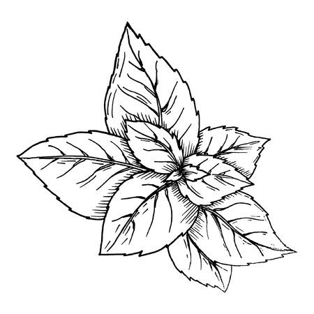 Vector basil hand draw illustration eps10 Standard-Bild - 109903166