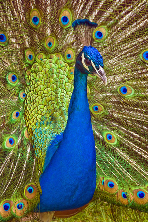 A beautiful peacock with colorful feathers photo