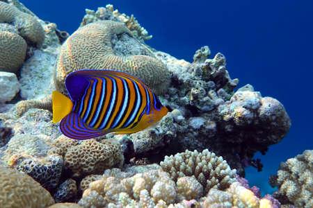 Angel fish, Regal angelfish, (Pygoplites diacanthus) in tropical coral reef - Red sea