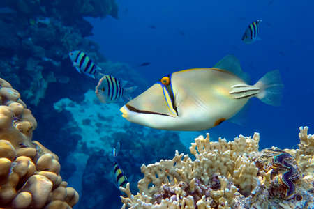 Picasso triggerfish (Rhinecanthus aculeatus), coral fish on the coral reef.
