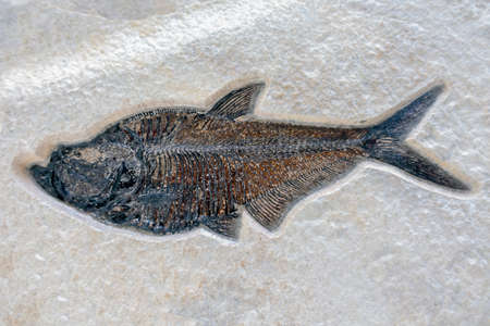 Fish fossil on sand stone background