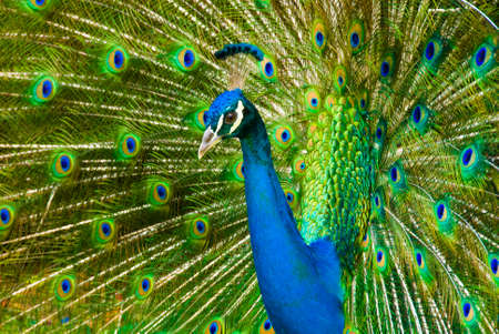A beautiful peacock with colorful feathers