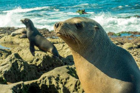 Sea Lion mum - female seal - on the beach, La Jolla, California. Stock Photo