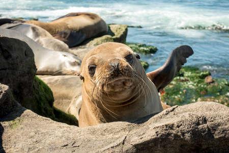 Sea Lion baby seal - puppy on the beach, La Jolla, California. Stock Photo
