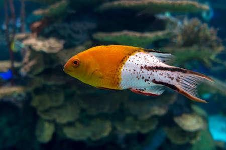 Lyretail hogfish - Bodianus anthioides, tropical sea fish