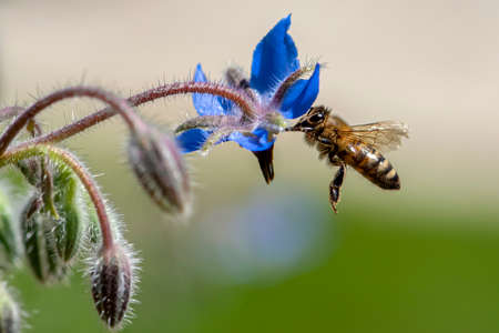 Macro of honey bee collecting pollen and suck nectar on a flower
