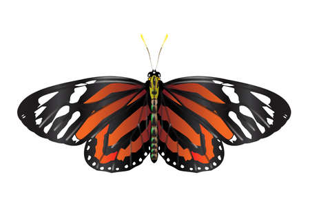 A Monarch Butterfly with open wings - vector Vetores