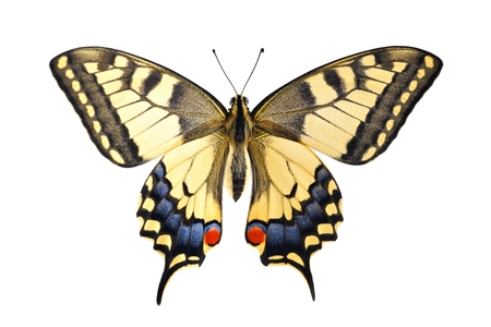 Old World Swallowtail  Papilio machaon  butterfly on a white background