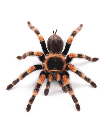 Tarantula spider, female  Brachypelma smithi  Фото со стока