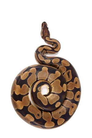 royal python: Python regius on white background, it is also known as royal python or ball python Stock Photo
