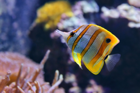 Copperband Butterflyfish  Chelmon rostratus , also commonly called the Beak Coralfish, is found in reefs in both the Pacific and Indian Oceans photo