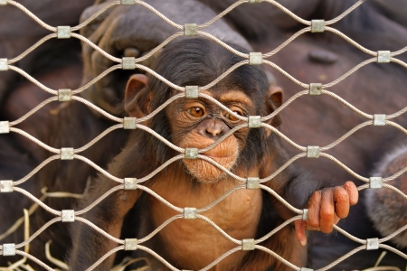 Chimpanzee  Pan troglodytes  sorrowful baby monkey in a cage photo