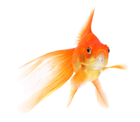 Goldfish on a white background Stock Photo - 23314357