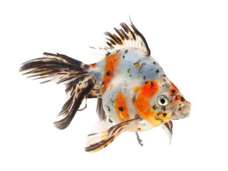 Goldfish on a white background Фото со стока