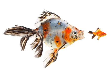 chasing tail: Goldfish, big fish hunting for small fish, on a white background