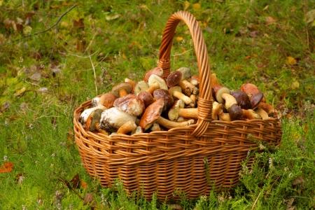 mushrooming: Mushrooming, wicker basket full of mushrooms