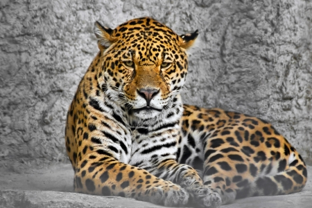 Jaguar  Panthera onca , cat in a cage, photography through the bars photo