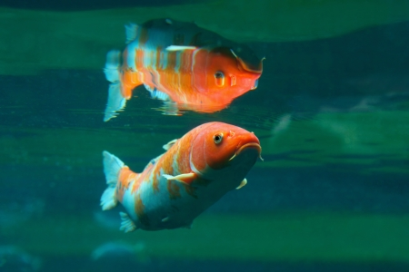 Koi  Cyprinus carpio haematopterus , a form of breeding carp, that are kept for decorative purposes in outdoor koi ponds or water gardens photo