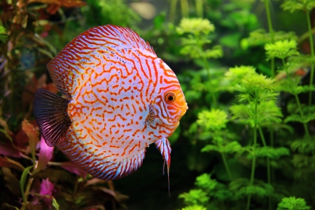 Discus  Symphysodon , multi-colored cichlid in the aquarium, the freshwater fish native to the Amazon River basin photo