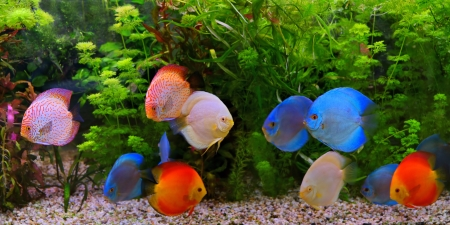 Discus  Symphysodon , multi-colored cichlids in the aquarium, the freshwater fish native to the Amazon River basin Stock Photo - 23365223