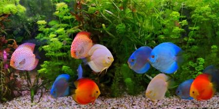 rio amazonas: Symphysodon Discus, c�clidos de varios colores en el acuario, los peces de agua dulce nativas de la cuenca del r�o Amazonas