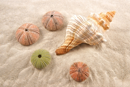 Shell and Dried Sea Urchins on the sand  Stock Photo - 23365243