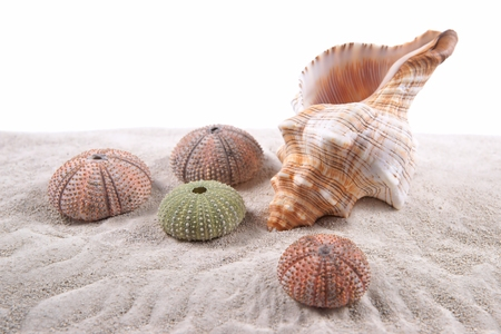 Shell and Dried Sea Urchins on the sand Stock Photo - 23365263