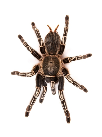 inhabits: Costarican Zebra Tarantula, also known as the Striped-knee Tarantula  Aphonopelma seemanni , this spider inhabits most of western Costarica Stock Photo