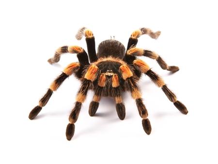 Mexican redknee tarantula  Brachypelma smithi , spider female