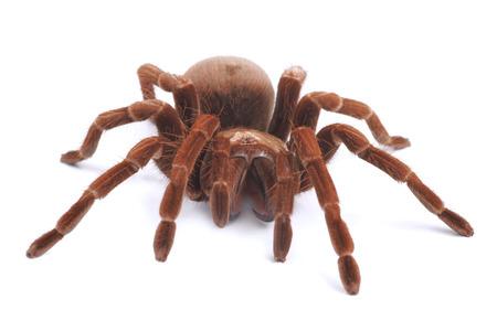 Tarantula spider, female  Theraphosa blondi