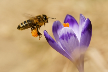apis: Honeybees,  Apis mellifera , bees flying over the crocuses in the spring on a mountain meadow in the Tatra Mountains, Poland