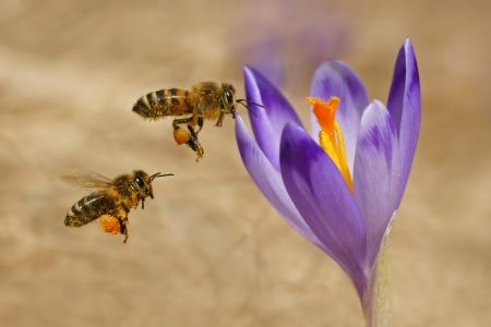 Honeybees,  Apis mellifera , bees flying over the crocuses in the spring on a mountain meadow in the Tatra Mountains, Poland