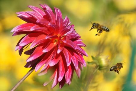 Bees in flight and Dahlia Garden, Dahlia Cav