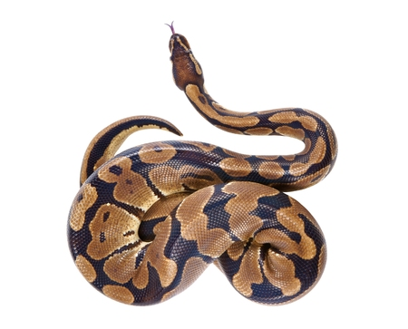 ball python: Python regius with tongue sticking out it is also known as royal python or ball python