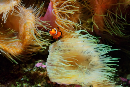 amphiprion ocellaris: Clown Fish,  Amphiprion ocellaris  and sea anemones as background, also known as the Ocellaris Clownfish , False Percula Clownfish or Common clownfish Stock Photo