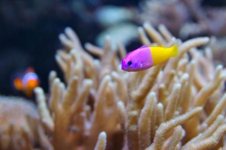 surgeon fish: Bicolor Dottyback, Pictichromis Paccagnella, tambi�n llamado el Royal Dottyback o Falso Gramma es un pez com�nmente mantenidos en acuarios marinos