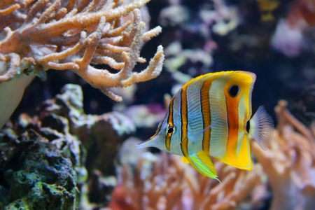copperband butterflyfish: Copperband Butterflyfish,  Chelmon rostratus , also commonly called the Beak Coralfish, is found in reefs in both the Pacific and Indian Oceans