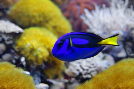 surgeon fish: Blue tang,  Paracanthurus hepatus , a number of common names are attributed to the species, including  Palette surgeonfish, Regal tang