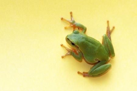 hyla: Tree frog,  Hyla arborea