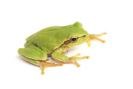 Tree frog,  Hyla arborea