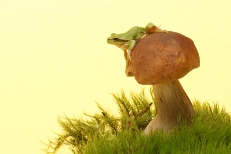 hyla: Tree frog,  Hyla arborea  on mushroom, Boletus Stock Photo