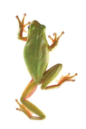 Tree frog,  Litoria infrafrenata