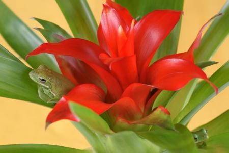 guzmania: Tree frog,  Litoria infrafrenata  and Guzmania  Bromeliaceae