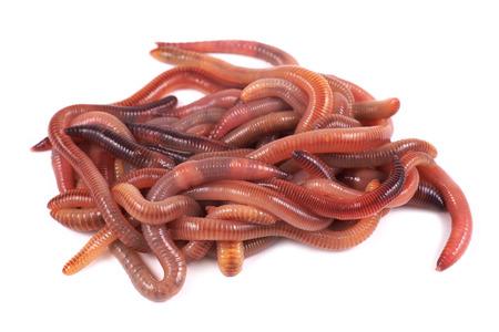 Fishing, live bait, red worm Dendrobena Фото со стока