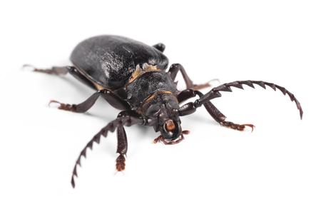 longhorn beetle: Longhorn beetle, Tanner, Sawyer  Prionus coriarius