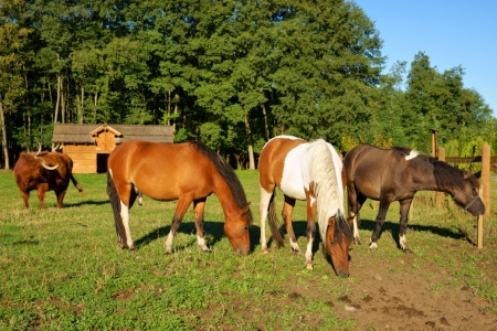 pene: Los caballos, semental con un pene en la parte superior y Mares en el pasto en el fondo Vaca Foto de archivo