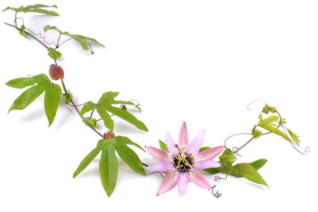 Passion Flower  Passiflora L   on a white background