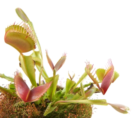 Venus Flytrap  Dionaea  on a white background