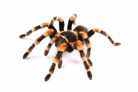 tarantula: Mexican redknee tarantula  Brachypelma smithi , spider female